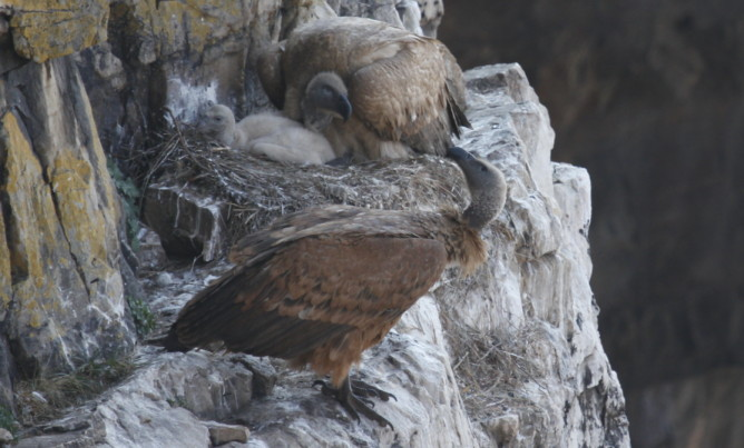 Cape Vulture family