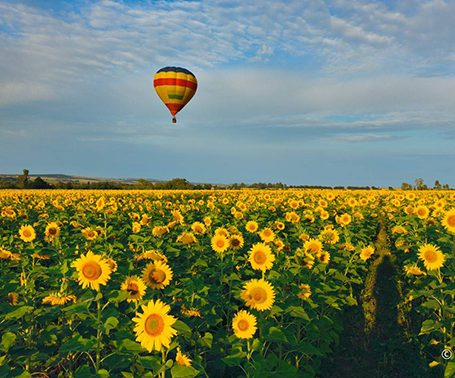 Sunflower field in the Magaliesberg